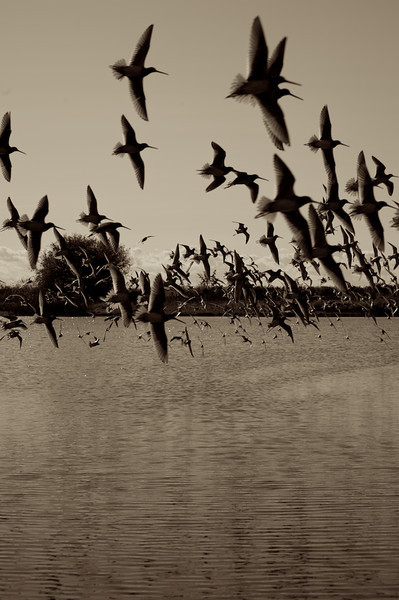 Flight Of The Dowitchers