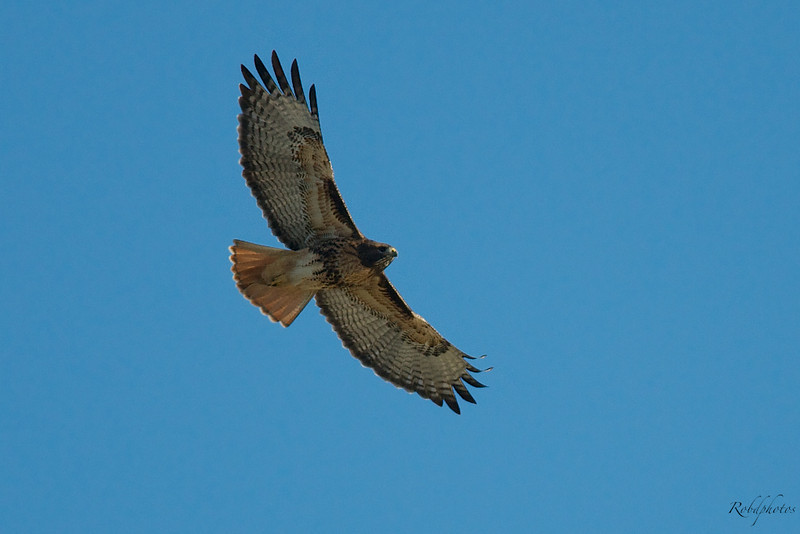 A Hawk Circles Over the Sandpipers as well.
