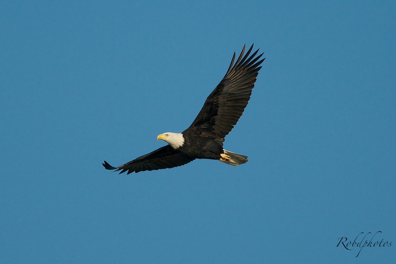 Bald Eagle Flying near the Lesser Snow Geese, it really stirred them up.
