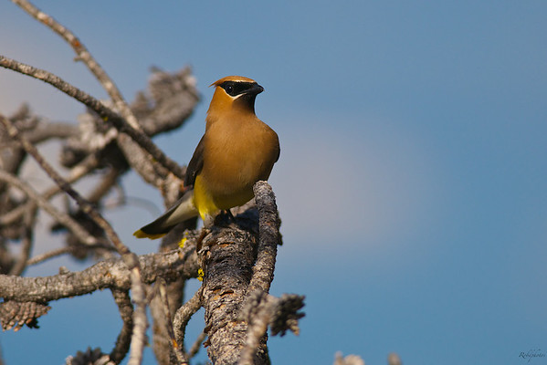 Cedar Waxing