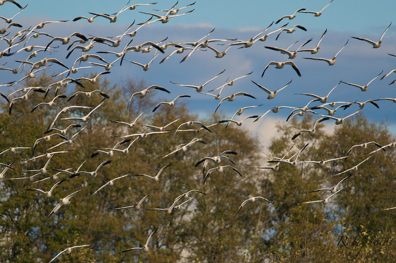 A wave of Lesser Snow Geese flying over a slough.
